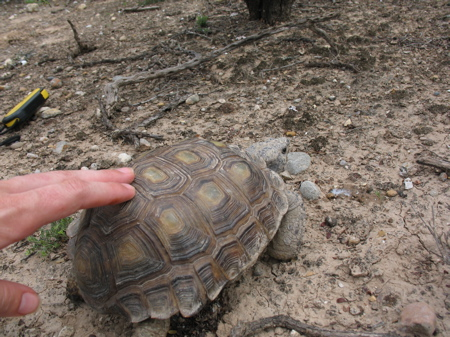 Molly trying to coax a Texas tortoise to behave for the photo