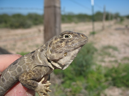 Reticulate collared lizard captured in Starr County, Texas