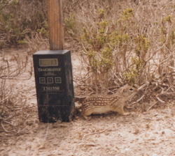 Photo of Mexican ground squirrel taken by the Trailmaster system in Starr County, Texas