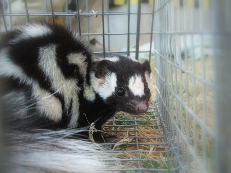 Spotted skunk caught at Terlingua Creek, Brewster County, Texas