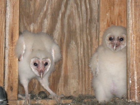 Barn owl fledglings in Starr County deer blind
