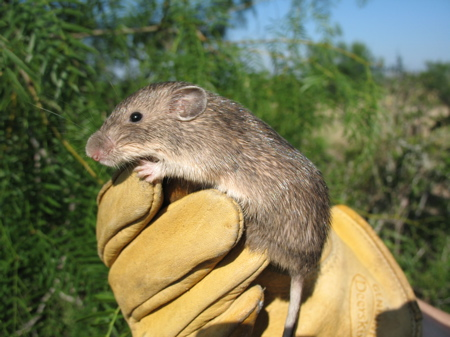 Mexican spiny pocket mouse (Liomys irroratus) in hand