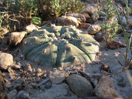 Individual star cactus from Starr County, Texas